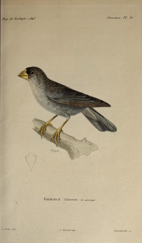 Oiseaux, Pl. 30. G. Gros-bec. Coccothraustes. Cuv.