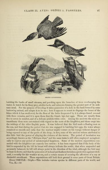 black and white illustration (engraving?) of 3 belted kingfishers, 2 males (one in flight) and a female with a fish in its beak.